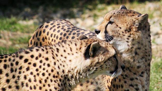 Zwei neue Geparde in der Tierwelt Herberstein (Bild: Tierwelt Herberstein)