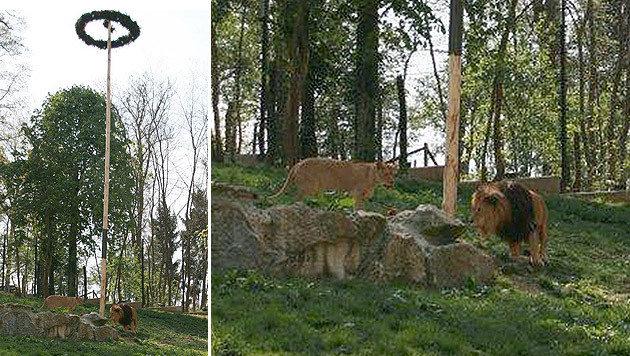 """Mitarbeiter des Tierparks sollen den Maibaum """"gestohlen"""" und im Löwengehege aufgestellt haben. (Bild: APA/DR. KARL AUINGER)"""