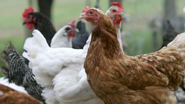 Bauer findet 25 Hühner tot in Legestall (Bild: dpa/Roland Weihrauch (Symbolbild))