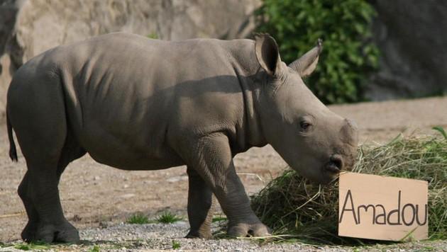 Entscheidender Moment: Zielstrebig lief das Nashorn auf den Heuhaufen zu, der für â01EAmadouâ01C stand. (Bild: Zoo Salzburg)