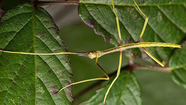 Die Insektenart Phryganistria tamdaoensis (Bild: IISE/Bruno Kneubühler)