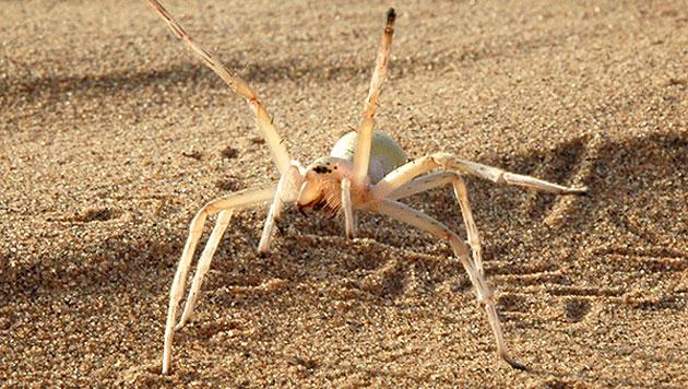 Die in Marokko lebende Spinne Cebrennus rechenbergi (Bild: Technische Universität Berlin/Ingo Rechenberg)