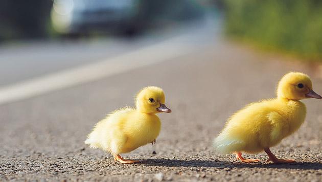 Salzburger Autobahn-Polizei rettete Entenfamilie (Bild: thinkstockphotos.de)