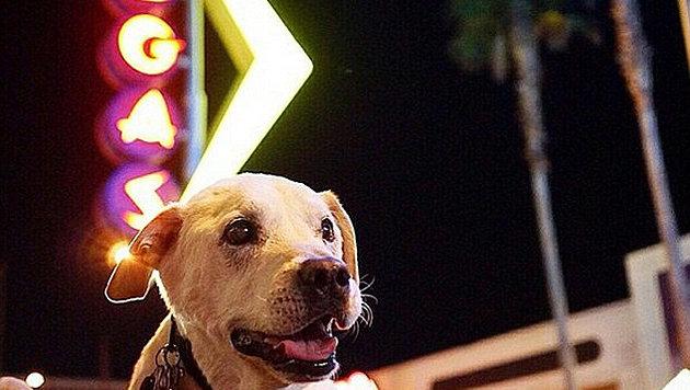 Auch Las Vegas hat der todkranke Labrador besucht. (Bild: Instagram/Pohthedogsbigadventure)