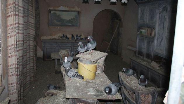 Über 70 Zuchttauben aus Messie-Haushalt gerettet (Bild: Wiener Tierschutzverein)