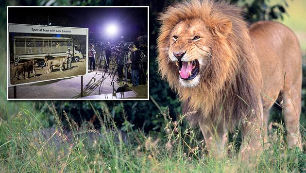 Südafrika: Löwe tötet in Wildpark US-Touristin (Bild: AP, thinkstockphotos.de (Symbolbild))