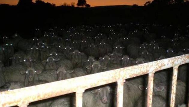 Diese Schafherde hilft einem garantiert nicht beim Einschlafen.