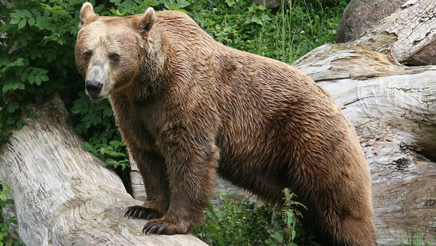 Drei Braunbären müssen dringend neue Gehege finden (Bild: APA/Alpenzoo (Symbolbild))
