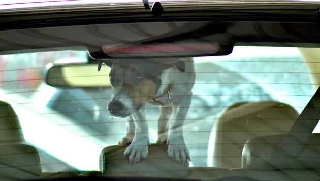Sima: Hunde im Sommer keinesfalls im Auto lassen (Bild: thinkstockphotos.de (Symbolbild))