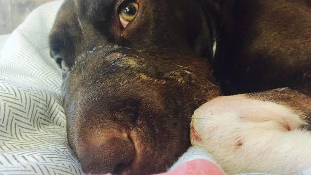 """""""Caitlyn"""" wird sich von ihrer Tortur wohl wieder vollständig erholen. (Bild: Charleston Animal Society)"""