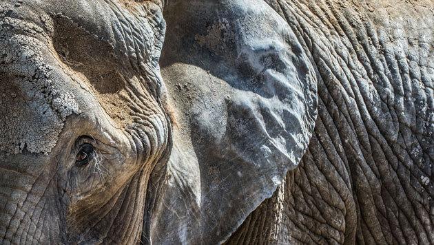 Elefant tötete Trainer und flüchtete mit Touristen (Bild: APA/dpa/Frank Rumpenhorst (Symbobild))
