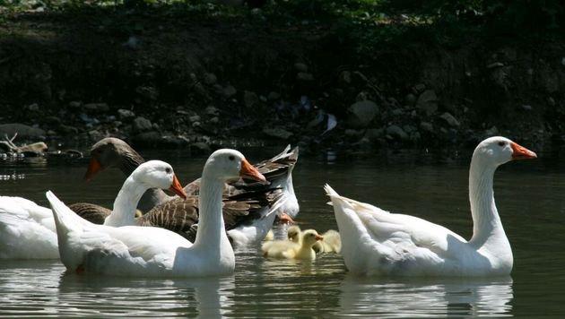Aufregung um Ente mit Angelhaken im Schnabel (Bild: Pfotenhilfe/Sascha Sautner (Symbolbild))
