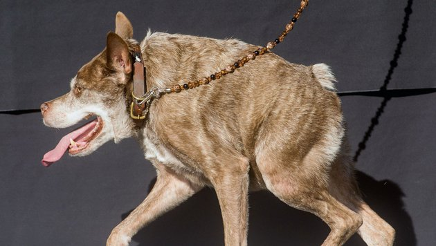 """""""Quasi Modo"""" zum hässlichsten Hund der Welt gekürt (Bild: AP)"""