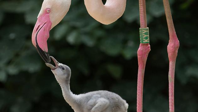 Süßer Flamingo-Nachwuchs erfreut Zoo Schönbrunn (Bild: APA/DANIEL ZUPANC)