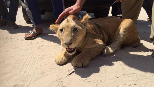 Nahost-Krimi um Löwenrettung aus Flüchtlingslager (Bild: Gregor Brandl)