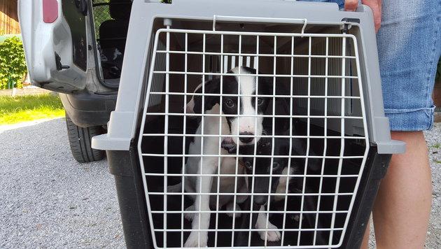 19 Hunde und zwei Katzen aus Chaos-Haus gerettet (Bild: Tierschutzverein für Tirol)