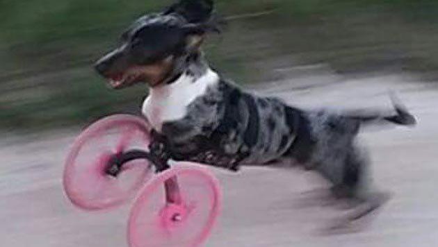 Dackel mit Handicap kann dank 3D-Drucker laufen (Bild: facebook.com/Bubbles2legs)