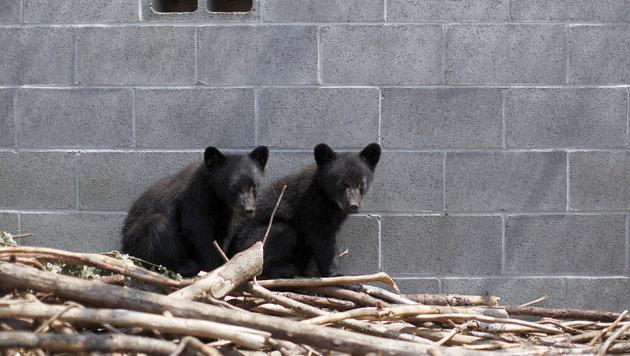 Naturschützer rettete Bärenbabys - entlassen! (Bild: AP)