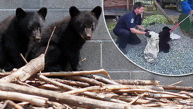 Naturschützer rettete Bärenbabys - entlassen! (Bild: AP, YouTube.com/TheNational)