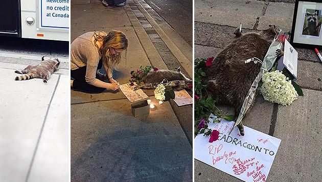 """""""Mahnwache"""" für toten Waschbären in Toronto (Bild: Twitter.com)"""