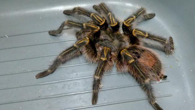 Die Spinne ist jetzt im Tierheim. (Bild: APA/TIERHEIM GRAZ/NICOLE REITINGER)