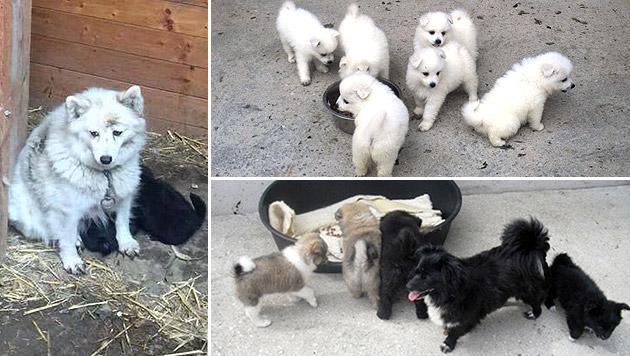 18 Hunde aus Zucht in Dreck und Gerümpel gerettet (Bild: Tierschutzaktiv, TSVVillach)