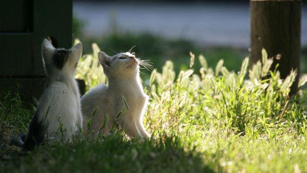 Kärntens wilde Katzen werden vom Tiko kastriert (Bild: Vier Pfoten)