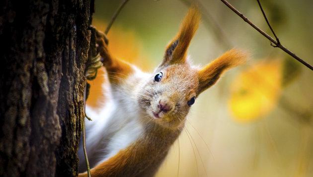 Eichhörnchen verfolgte Frau: Polizei schritt ein (Bild: thinkstockphotos.de (Symbolbild))