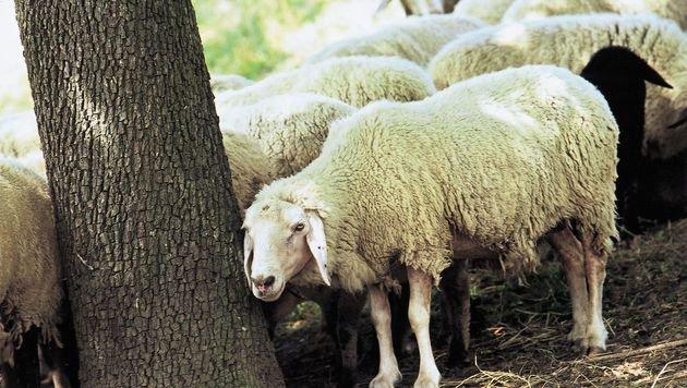 Nutztierhalter müssen besonders auf Vieh achten (Bild: Vier Pfoten/Klemencic)