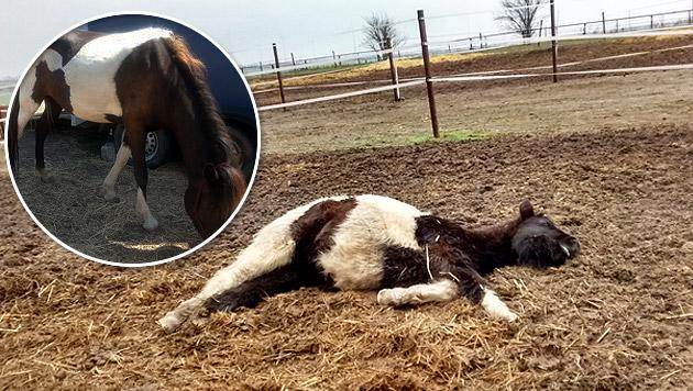 """""""Luna"""" ist das Pferd vom """"Animal Spirit""""-Foto - eine aktuelle Aufnahme zeigt: Ihr geht es bestens. (Bild: Pferdeoase, Animal Spirit)"""