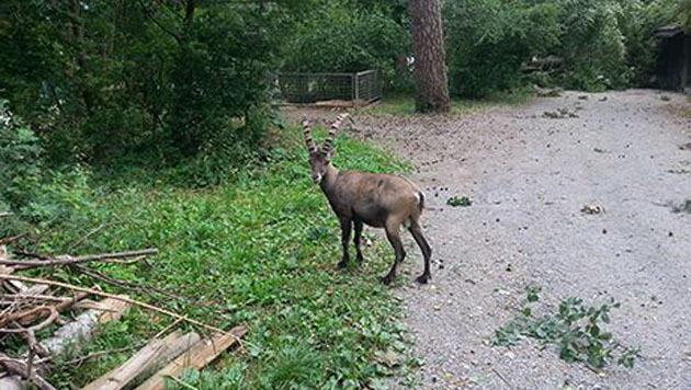 Im Vorarlberger Feldkirch gelang einem Steinbock durch das Unwetter die Flucht aus einem Tierpark. (Bild: Polizei Feldkirch)