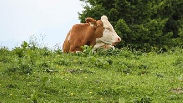 Die allermeisten Kühe sind wirklich völlig friedlich. (Bild: Melanie Hutter)