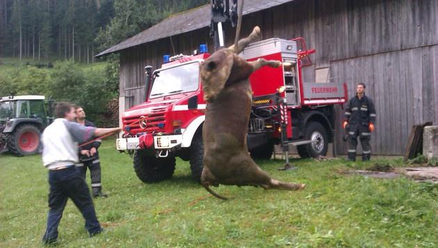 Mostviertel: Kuh stürzte in Güllegrube - gerettet (Bild: FF St. Aegyd Markt)