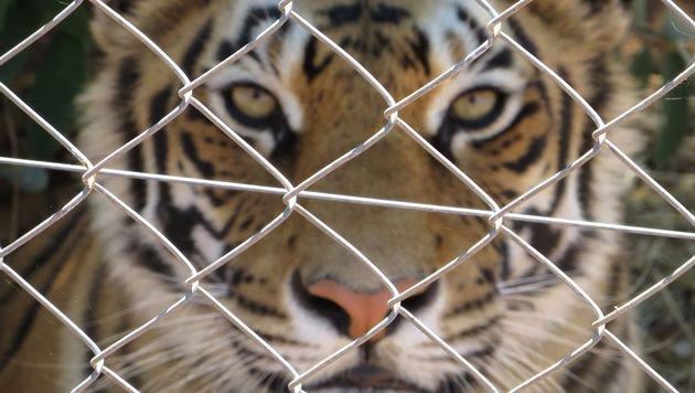 Internationaler Tag des Tigers: Tierart in Gefahr (Bild: Vier Pfoten 2015)