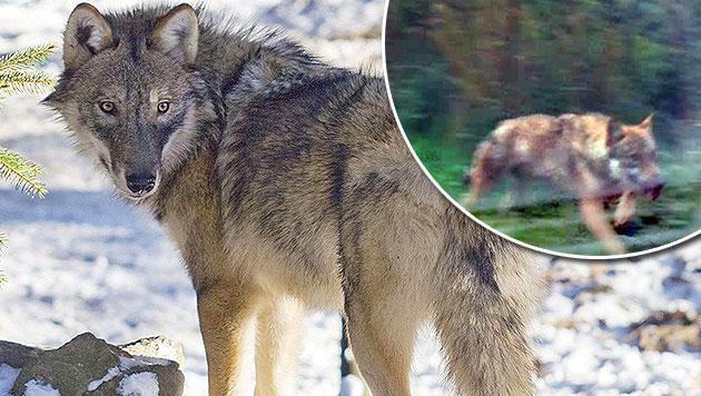 """In der Steiermark läuft die Suche nach Wolf """"Fritzi"""". (Bild: Wilder Berg Mautern, Kronen Zeitung)"""