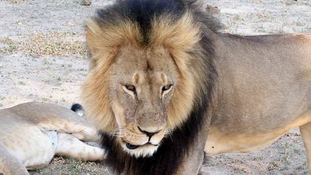 """Cecil"" war der Star des Hwange National Park in Simbabwe. (Bild: AP)"