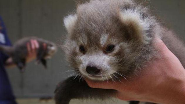 Die Rote-Panda-Babys müssen ohne Mutter aufwachsen und werden jetzt von Menschenhand aufgezogen. (Bild: Zoo Salzburg)