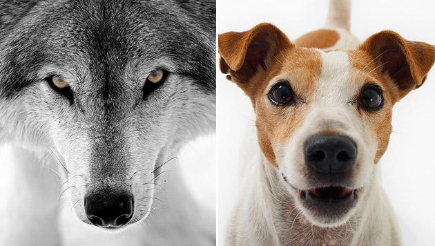 Wolf Hund Unterschied