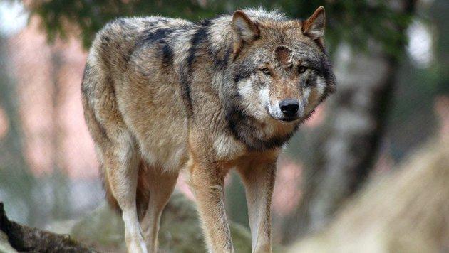 Wolf hinterließ in Filzmoos seine DNA-Spuren (Bild: dpa/Armin Weigel (Symbolbild))