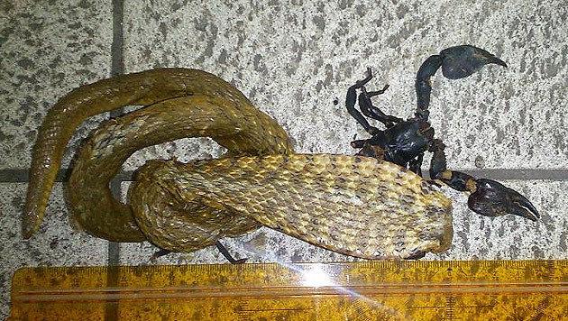 Kobra mit Skorpion im Maul in Wien entdeckt (Bild: LPD Wien)