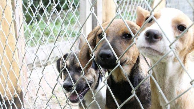 Viele der 250 Straßenhunde in Banovici in Bosnien sind krank. Sie brauchen dringend Medikamente. (Bild: Markus Tschepp)