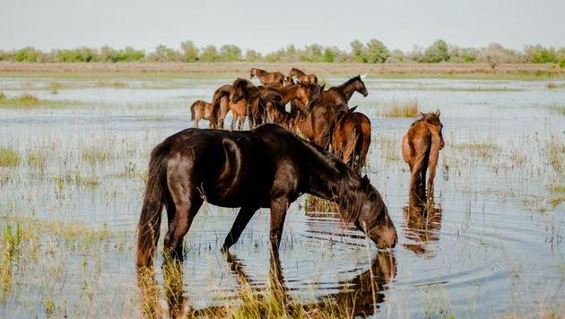 """Geburtenkontrolle für die Wildpferde im Donaudelta (Bild: """"Vier Pfoten""""/Andrea Balaurea)"""