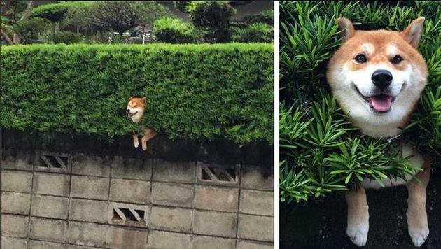 """""""Alles in Ordnung!"""" - Dieser Shiba Inu hat seine gute Laune trotz misslicher Lage nicht verloren. (Bild: Twitter.com/yamamochi223)"""