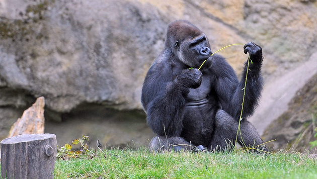 Wenn sie wollten, konnten sich Gorillas im Zoo Schmiding vor der Affenhitze in den Schatten flüchten (Bild: Markus Wenzel)