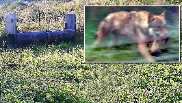 """Steirischer Grauwolf """"Fritzi"""" wieder eingefangen (Bild: APA/MARKUS HUBMANN, Kronen Zeitung)"""