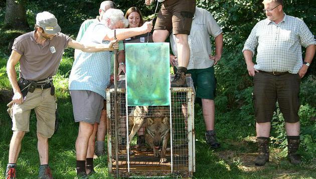 """""""Fritzi"""" bei seiner Freilassung im Gehege des Wildparks (Bild: APA/THOMAS KASERER)"""