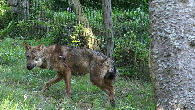 Der Grauwolf streift bereits wieder im Gehege umher. (Bild: APA/THOMAS KASERER)