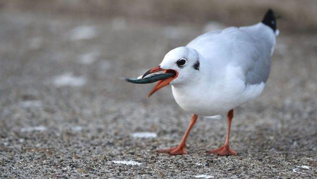 Fast alle Seevögel werden bis 2050 Plastik fressen (Bild: APA/dpa/Felix Kästle)