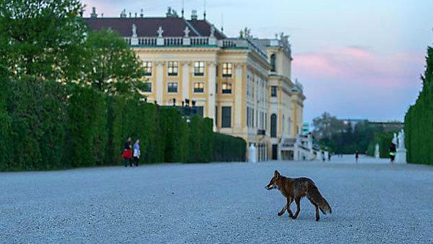Ein Fuchs in der Parkanlage vor dem Schloss Schönbrunn (Bild: www.stadtwildtiere.at)
