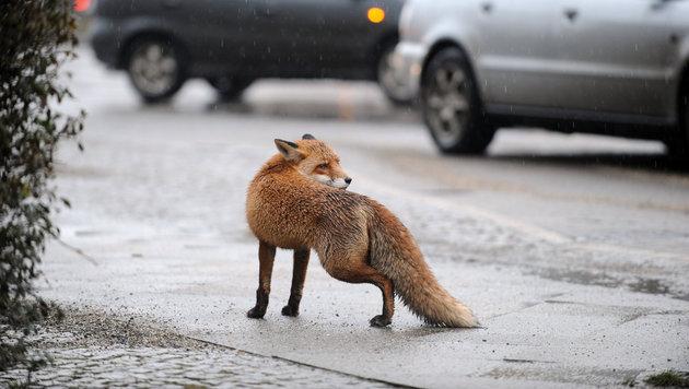Ein ausgewachsener Fuchs mitten in der Stadt (Bild: APA/dpa/Jörg Carstensen (Symbolbild))